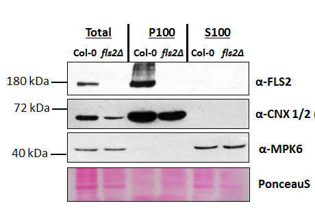 Western blot using anti-FLS2 antibodies