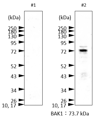 Western blot using anti-BAK1 antibodies