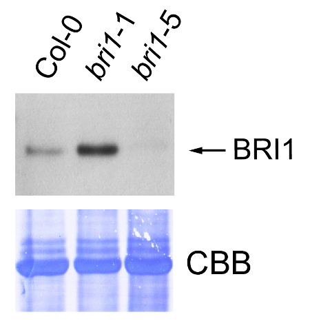 western blot detection using anti-BRI1 antibody