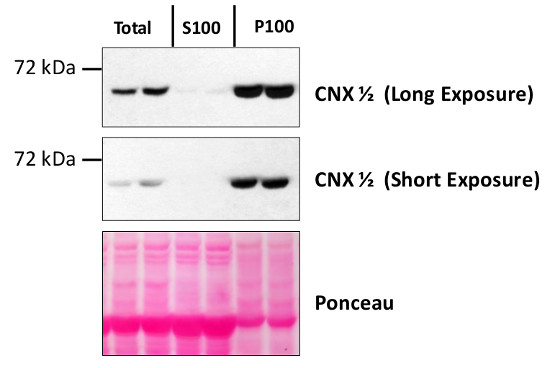 western blot using anti-CNX1/2 antibodies