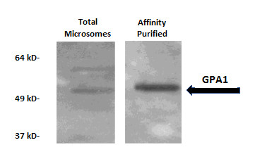 Western blot using anti-GPA1 antibodies