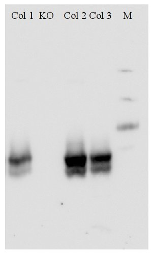 western blot using anti-NRT1.1 antibodies