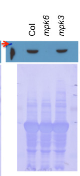 western blot using Agrisera anti-MPK6 antibodies