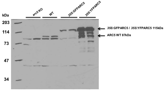 western blot using anti-DRP5B antibodies