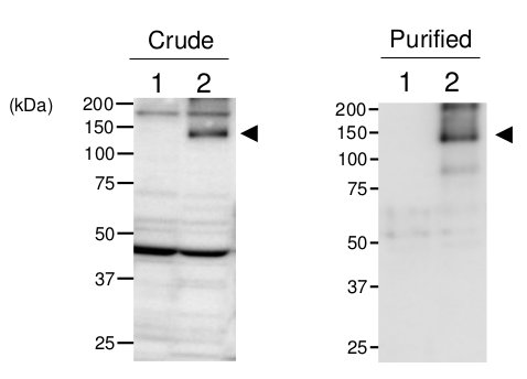 western blot using anti-TPS1 antibodies
