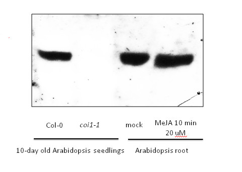 western blot using anti-COI1 antibodies