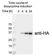 Western blot using anti-HA tag antibodies