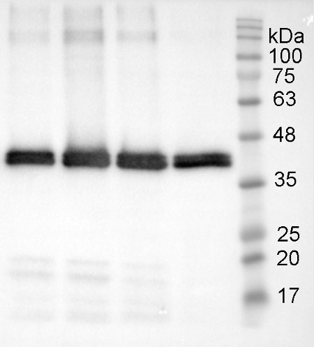 western blot using anti-patatin antibodies