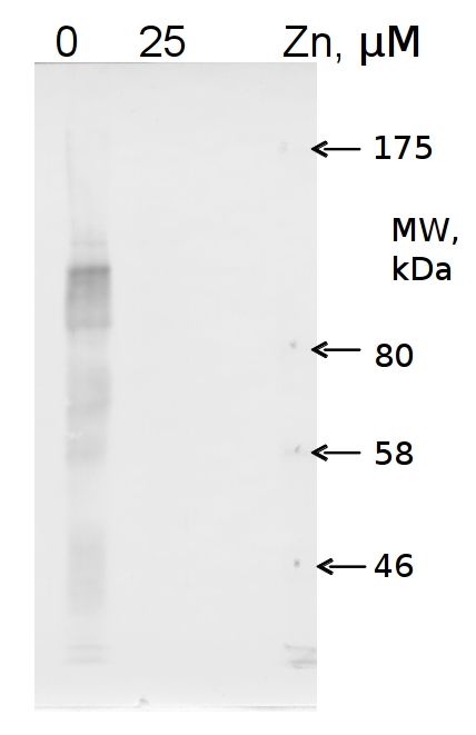 western blot using anti-COG0523 Zinc deficiency protein