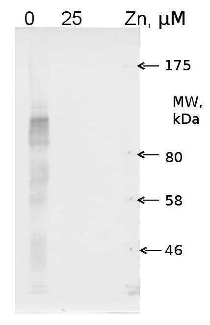 western blot using anti-COG0523 Zinc deficiency protein