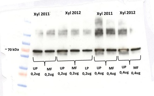 western blot using anti-VPP-ase antibodies