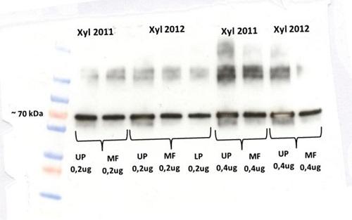 western blot using anti-VPP-ase antibodies