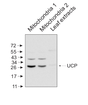 western blot using anti-plant UCP antibody