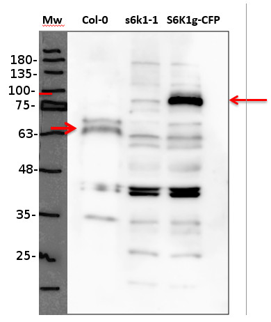 western blot using anti-S6K polyclonal antibodies