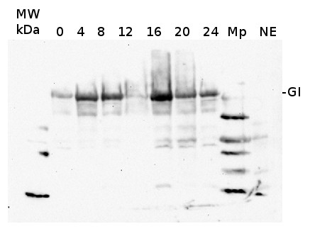 western blot using anti-GI antibodies