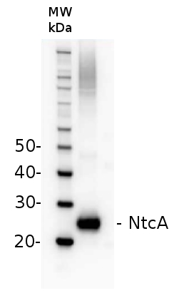 western blot detection of NtcA