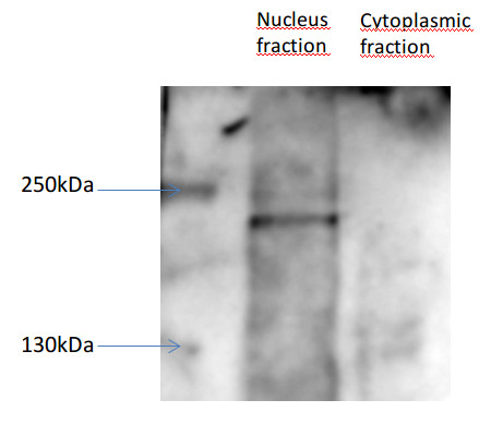 western blot using anti-DCL1 antibodies