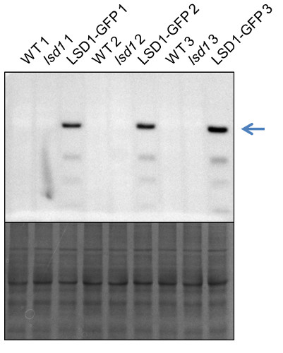western blot using anti-LSD1 antibodies