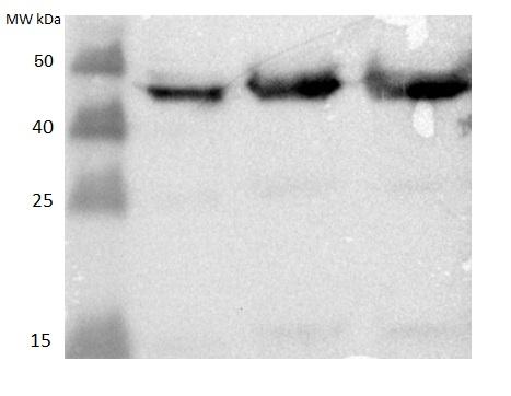 western blot detection using anti-MPK4 antibodies