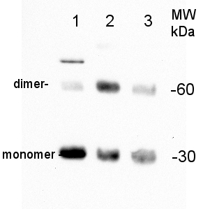 western blot detection of PIP2-7 in maize, bean