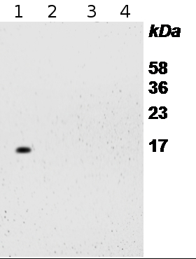 western blot detection of S14 protein in Arabidopsis