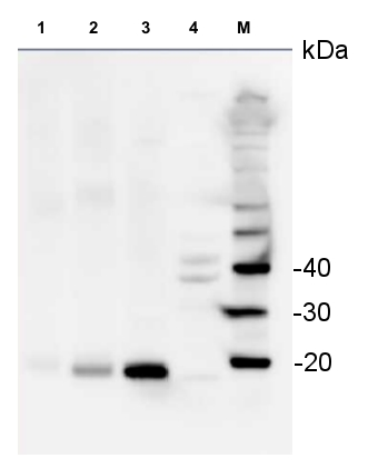 western blot detection of S14 in various species