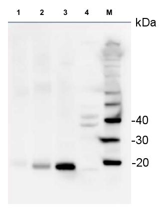 western blot detection of S14 in various species