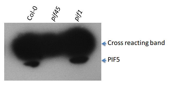 western blot using anti-PIF5 antibodies