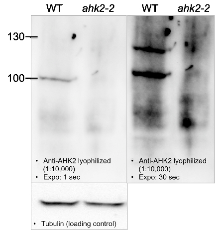 western blot using anti-AHK2 antibodies