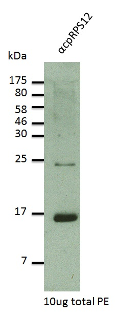 western blot using anti-RPS12 antibodies
