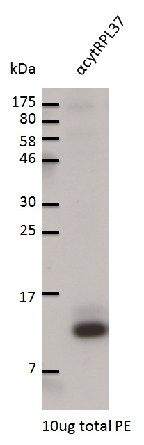 western blot using anti-RPL37 antibodies