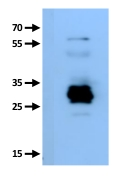 western blot detection using anti-plant GRF antibodies