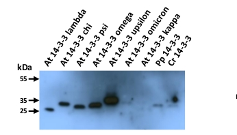 western blot using anti-plant GRF antibody