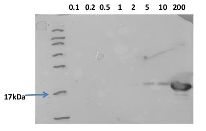 western blot using anti-HSP16B antibodies
