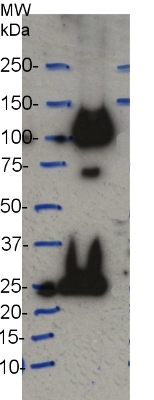western blot using anti-CesA7 (IRX3) antibodies