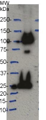 western blot using anti-CesA7 (IRX3) antibodies