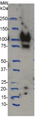 western blot using anti-CesA4 (IRX5) antibodies
