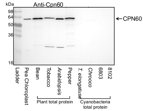 western blot detection of chloroplastic CPN60