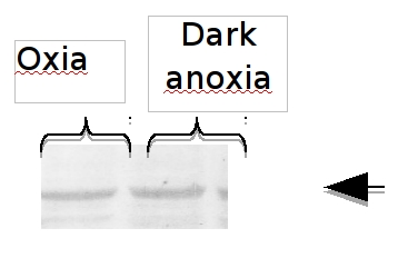 western blot using anti-MME4 antibody