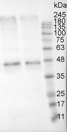 Western blot of anti-actin antibodies on potato tuber flesh