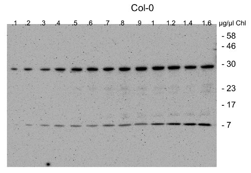 western blot using anti-CGL40 antibodies