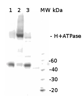 western blot using anti-H+ATPase, chicken antibodies