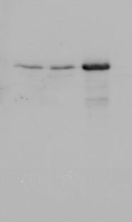 western blot using anti-MKK18 antibodies