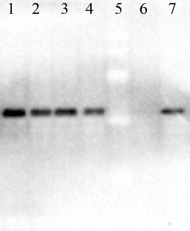 western blot with anti-EGFP | Enhanced Green Fluorescence Protein antibodies on Arabidopsis recombinant protein