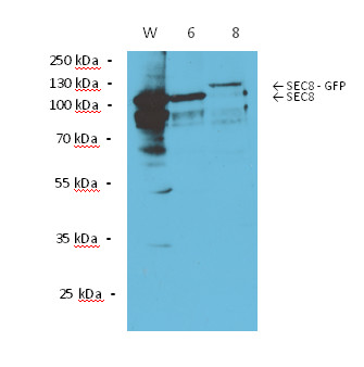 western blot using anti-Sec 8 antibodies