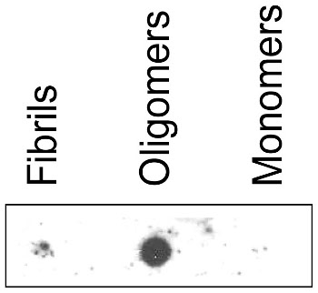 dot blot using anti-mAB-O antibodies