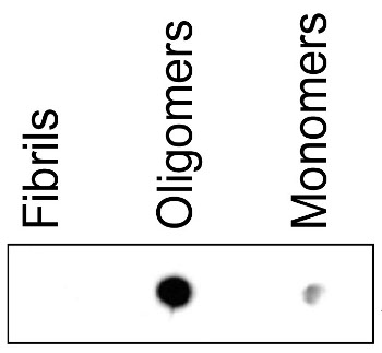 dot blot using anti-ASyO2 antibodies