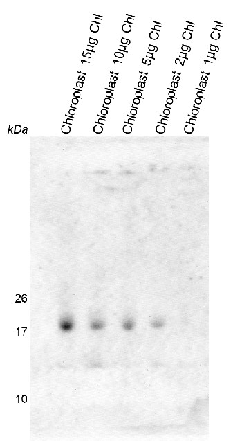 western blot using anti-RAF2 antibodies