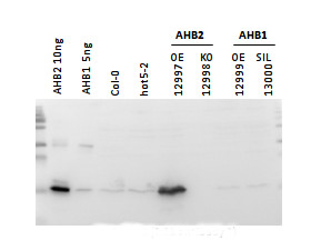 western blot using anti-AHB2 antibodies