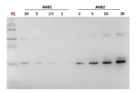 western blot using anti-AHB2 antibodie